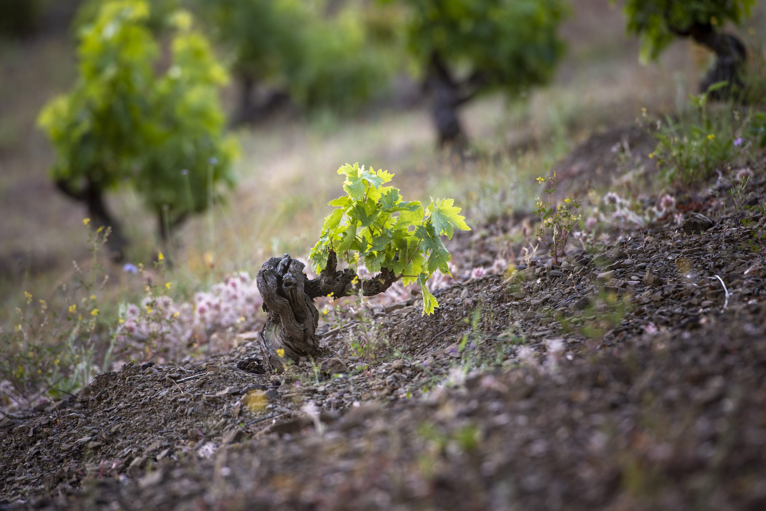 vineyardsmasigneuspriorat-masigneus
