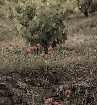 viñedos -masigneus