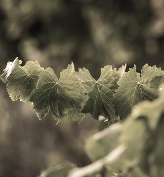 viñedos mas igneus-maigneus